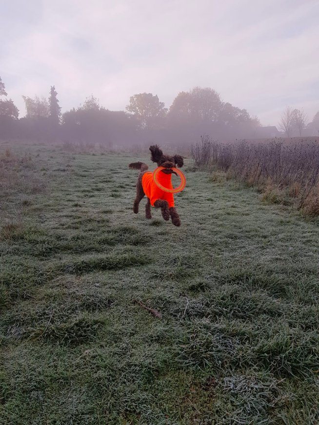 Dog jumping up and down with an orange coat